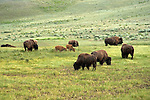 WY: Wyoming; Yellowstone National Park,.Bison..Photo #: yellow1676.Photo copyright Lee Foster, 510/549-2202, lee@fostertravel.com, www.fostertravel.com..