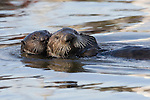 Sea Otter (Enhydra lutris) pup hugging mother while swimming, Elkhorn Slough, Monterey Bay, California