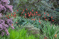 Aloe arborescens, Candelabra or Krantz Aloe, red flowering succulent in South African section of San Francisco Botanical Garden with Watsonia foliage and Erica canaliculata