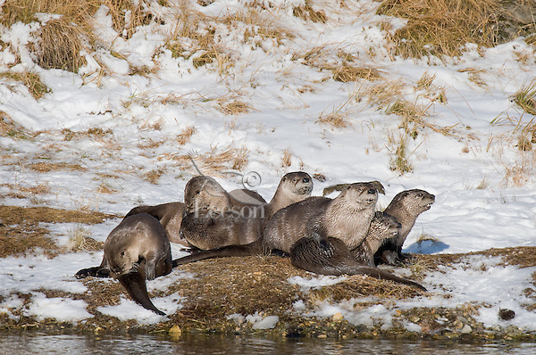 Seven Northern River Otter (Lontra canadensis) together on the bank of a river.  Western U.S., late fall.  I believe these otter are members of two different families, not one family group.