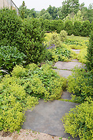 Alchemilla mollis lady's mantle ground cover in flower with stone path walkway, boxwood Buxus shrubs