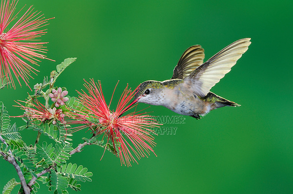 Calliope Hummingbird (Stellula calliope), female feeding on flower, New Mexico, USA