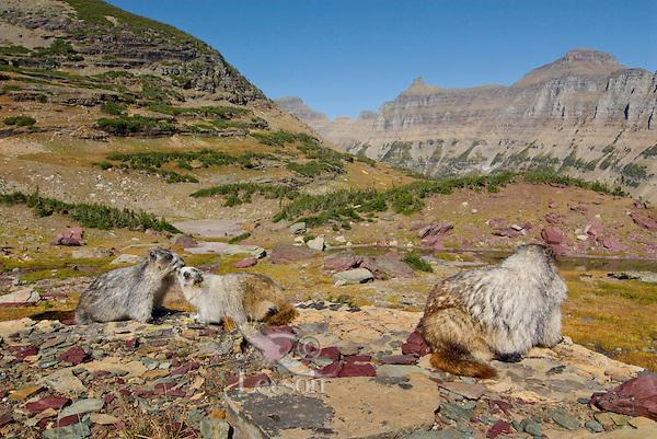 Hoary Marmots (Marmota caligata).  Glacier National Park, Montana.  Fall.