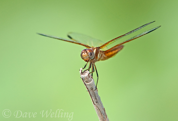 30459008 a male slough amberwing perithemis domitia perches on a dead stick near the naba site along the rio grande river hidalgo county texas united states
