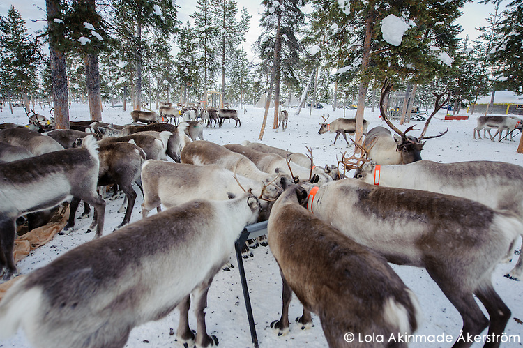 Reindeer feeding in the coral at Nutti Sámi Siida, sledding, and Sami culture