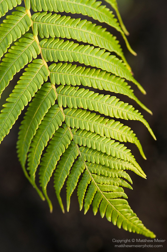 Taveuni, Fiji; detail view of a fern leaf