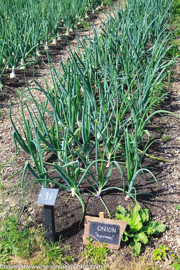 Onions growing in vegetable garden, Sissinghurst castle gardens, Kent, England, UK - Karmen variety