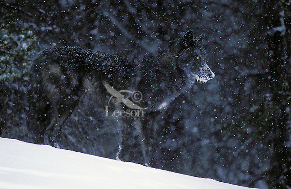 A black Gray Wolf in winter snowstorm (Canus lupus). Rocky Mountains.