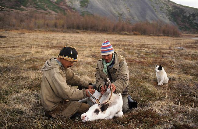 Chukchi reindeer herders with a reindeer they have lassoed. Koryakia, Kamchatka, Siberia, Russia.