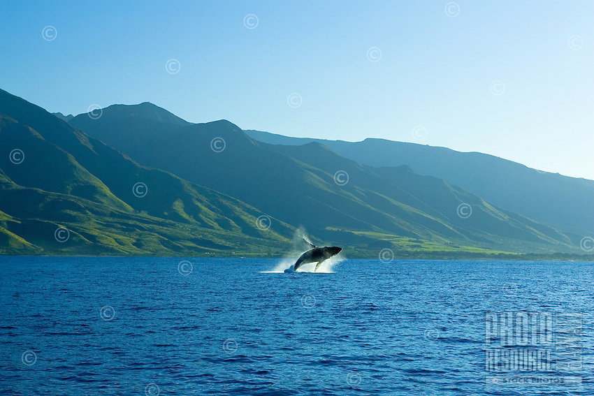 A humpback breachs with the West Maui Mountains in the background.