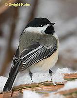 1J04-589z  Black-capped Chickadee, in winter snow,  Poecile atricapillus or Parus atricapillus