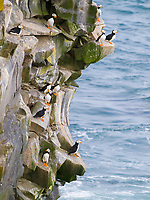 Horned puffins, Fratercula corniculata, on cliff, St Paul Island, Alaska.