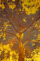 AVAILABLE FROM JEFF AS A FINE ART PRINT.<br /> <br /> AVAILABLE FROM JEFF FOR COMMERCIAL AND EDITORIAL LICENSING.<br /> <br /> Upward View of a Maple Tree (Acer sp.) and Golden Fall Foliage  Illuminated by City Lights on a  Autumn Night, Gramercy Park, Lower Manhattan, New York City, New York State, USA<br /> <br /> Original Image Photographed on 35mm transparency film.