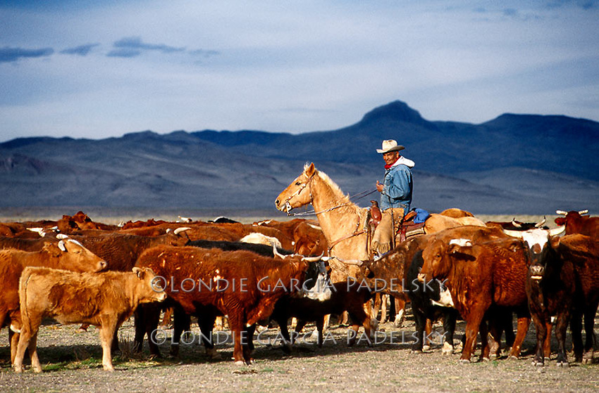 Native American Indian Cowboy sorting cattle on the Paiute Tribe's Reservation, Northeast of Reno in Nevada (Gordon Frazier)