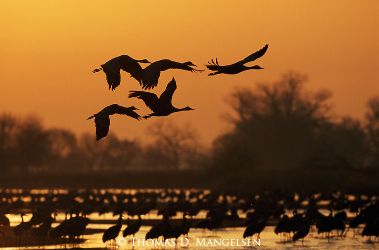 Sandhill Cranes in flight and standing in the Platte River, Nebraska