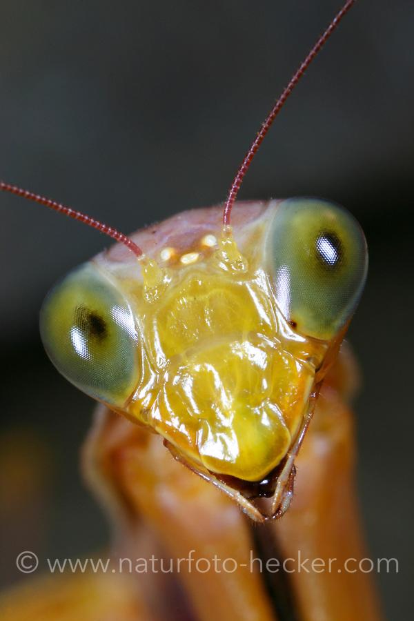 Gottesanbeterin, Portrait, Europäische Gottesanbeterin, Fangschrecke, Mantis religiosa, Praying Mantis, Fangschrecken, Mantodea, mantises, mantes, mantid, mantids, Mante religieuse, mantoptères
