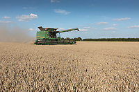 Harvesting wheat in the Lincolnshire Fens <br /> ©Tim Scrivener Photographer 07850 303986<br />      ....Covering Agriculture In The UK....