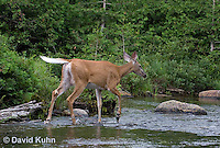 0623-1014  Northern (Woodland) White-tailed Deer, Odocoileus virginianus borealis  © David Kuhn/Dwight Kuhn Photography