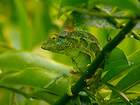 A female Jackson's chameleon matches her green home, Hawai'i.