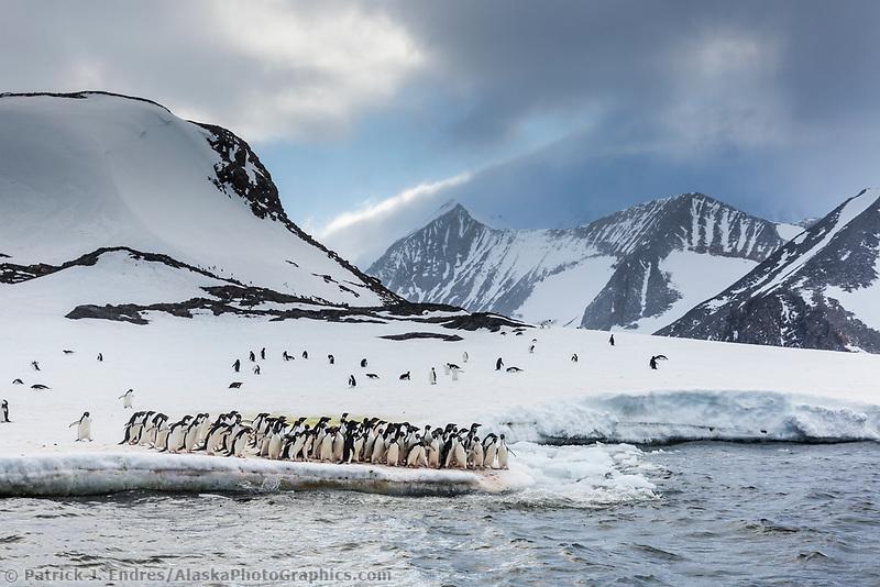 Group of adelie penguins in Hope Bay, Antarctica Peninsula.