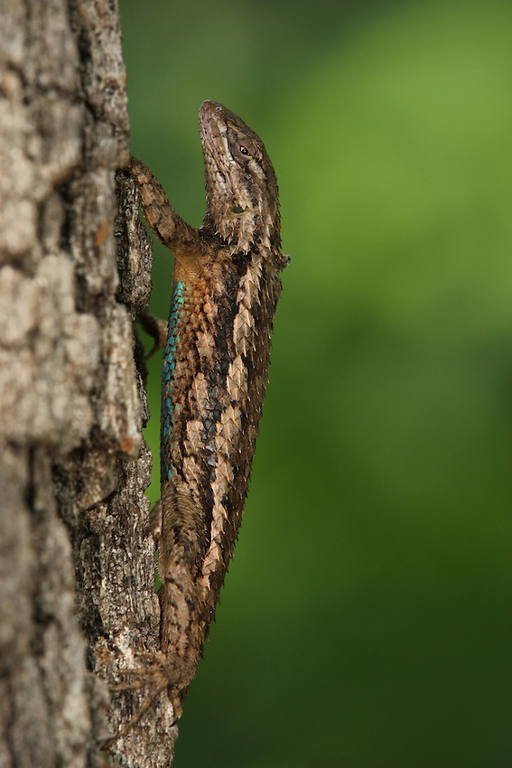 This diurnal lizard will retreat up a tree when threatened. Sceloporus olivaceus is adept at climbing and is well camouflaged on tree trunks and limbs. This lizard species primarily eats insects & some small vertebrates. Male.