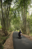 INDONESIA, Flores, Bena village, man on a motorbike driving through a bamboo forest