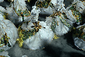 Rio de Janeiro, Brazil. Women in full swirling white and gold samba school costumes dancing in formation.