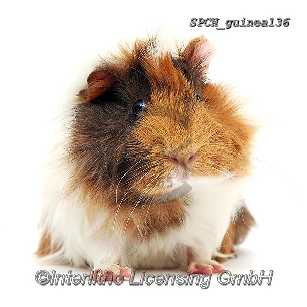 ANIMALS, REALISTISCHE TIERE, ANIMALES REALISTICOS, fondless, photos+++++,SPCHGUINEA136,#a#, EVERYDAY