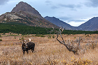 Fall landscape of bull moose in Chugach State Park.  Powerline pass area.  Anchorage, Alaska<br /> <br /> Photo by Jeff Schultz/SchultzPhoto.com  (C) 2018  ALL RIGHTS RESERVED<br /> <br /> David Young 2018 October Photo tour/workshop