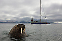 Norway, Svalbard, walrus in ocean and expedition boat Arctica in background