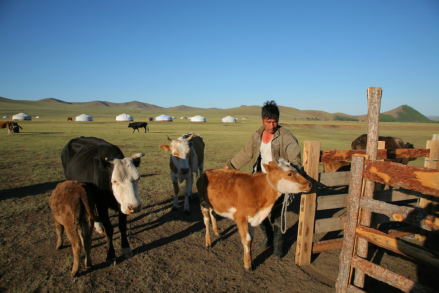 Milking cows Mongolia Central Asia