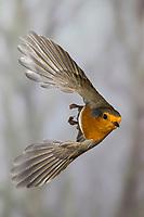 Rotkehlchen, fliegend, im Flug, Flugbild, Erithacus rubecula, robin, European robin, robin redbreast, flight, Le Rouge-gorge familier