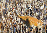 A canada goose in the cattail reeds is watching a sandhill crane walking by at the Lee Metcalf National Wildlife Refuge in the Bitterroot Valley in western Montana
