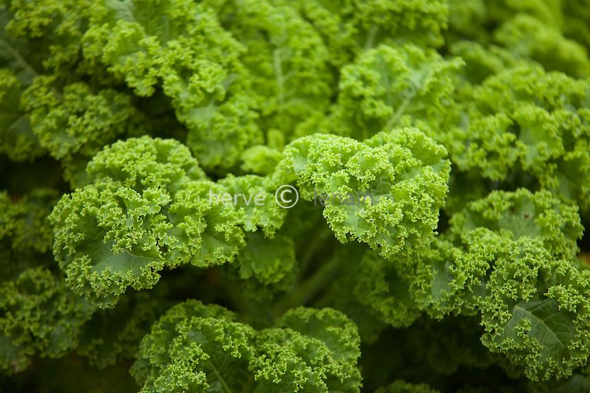 chou 'Vitessa', Brassica oleracea 'Vitessa' // Curly cabbage 'Vitessa' (Brassica oleracea 'Vitessa').