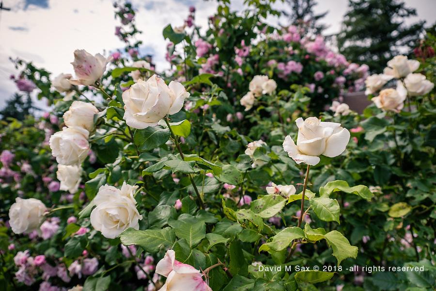 6.9.18 - Rose Tribe....