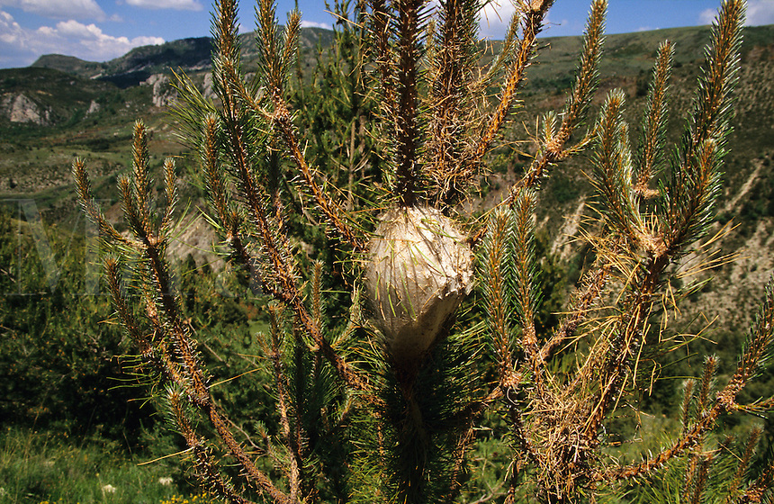 Nest of processional caterpillars, thaumetopoea pytiocampa, on young pine tree. Provence. France..