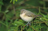 Warbling Vireo, Vireo gilvus,adult, South Padre Island, Texas, USA