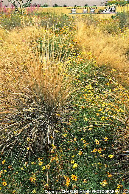 Phoenix gardener Sally Shoemaker created an exuberant native grass meadow using  Deergrass, Muhlenbergia rigens, and wildflowers.