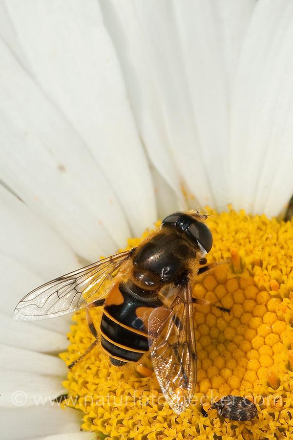 Bienen-Schwebfliege, Bienenschwebfliege, Mistbiene, Weibchen beim Blütenbesuch, Nektarsuche, Bestäubung, Eristalis spec., drone fly, drone-fly, dronefly