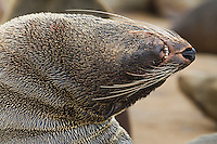 Abstract portrait close-up of a fur seal