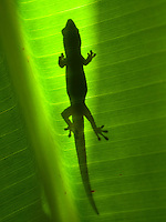 The shadow of a gecko on the broad leaf of a banana tree, Big Island.