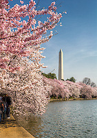 Cherry Blossoms Washington Monument Tidal Basin Washington DC