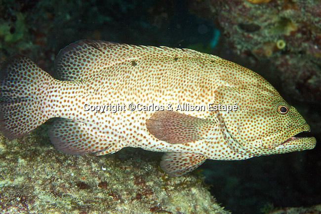Cephalopholis cruentata, Graysby, Florida Keys