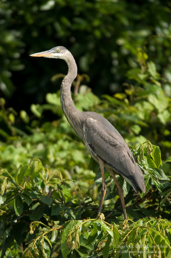 Monkey River, Belize, Central America; a Great Blue Heron (Ardea herodias) stands perched along the edge of the Monkey River , Copyright © Matthew Meier, matthewmeierphoto.com All Rights Reserved