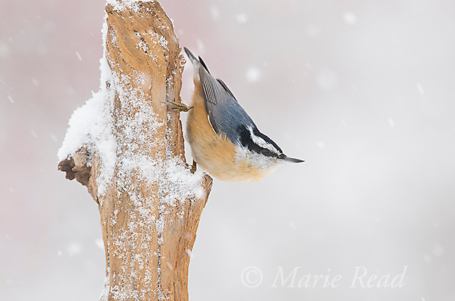 Red-breasted Nuthatch (Sitta canadensis), male clinging to a snag head down, during a snowstorm, New York, USA
