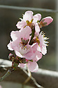 Blossom of Nectarine 'Pineapple', glasshouse, early March.