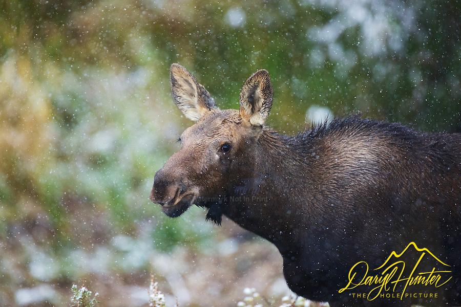 Snowstorm, Moose, Grand Teton National Park