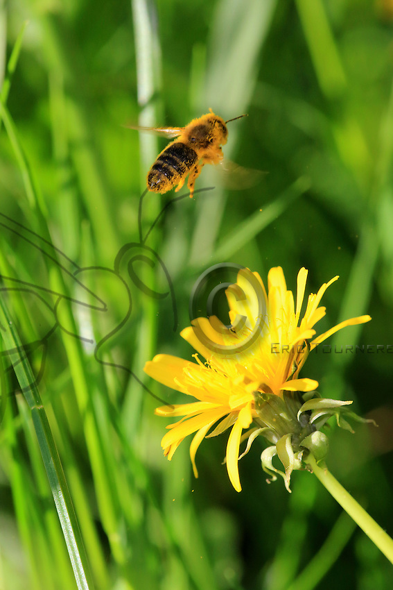 A bee covered in pollen flies off to gather nectar from a dandelion.///Une abeille recouverte de pollen vole pour butiner une  fleur de pissenlit.