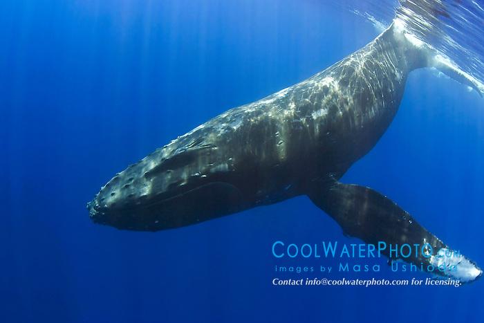 humpback whale, Megaptera novaeangliae, Pacific Ocean.