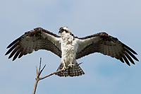 Osprey - Pandion haliaetus - adult bird USA